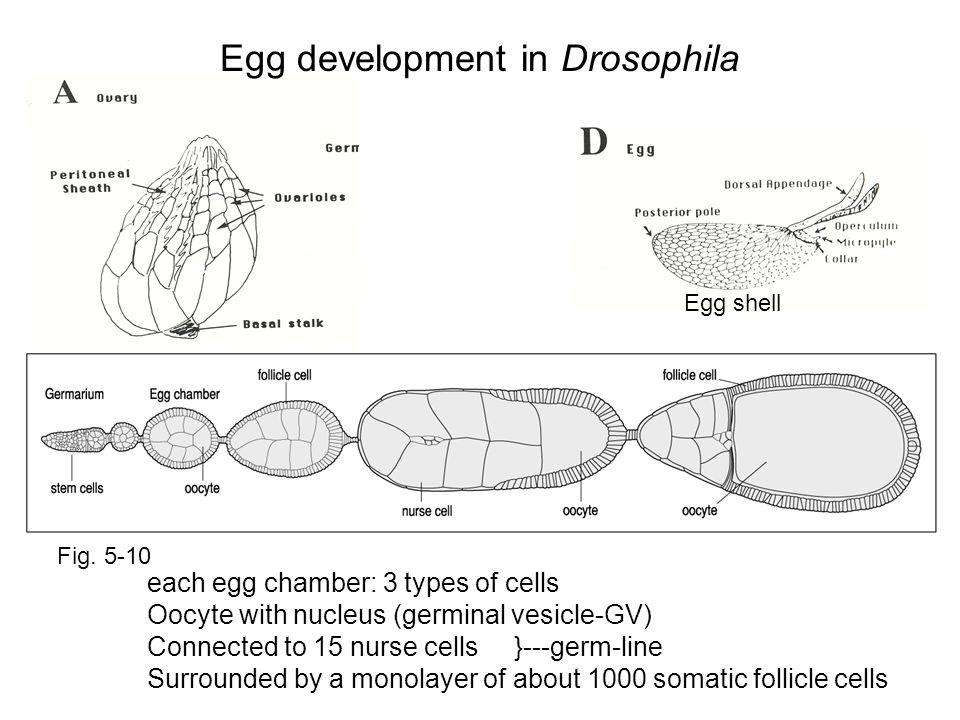 Egg development in Drosophila