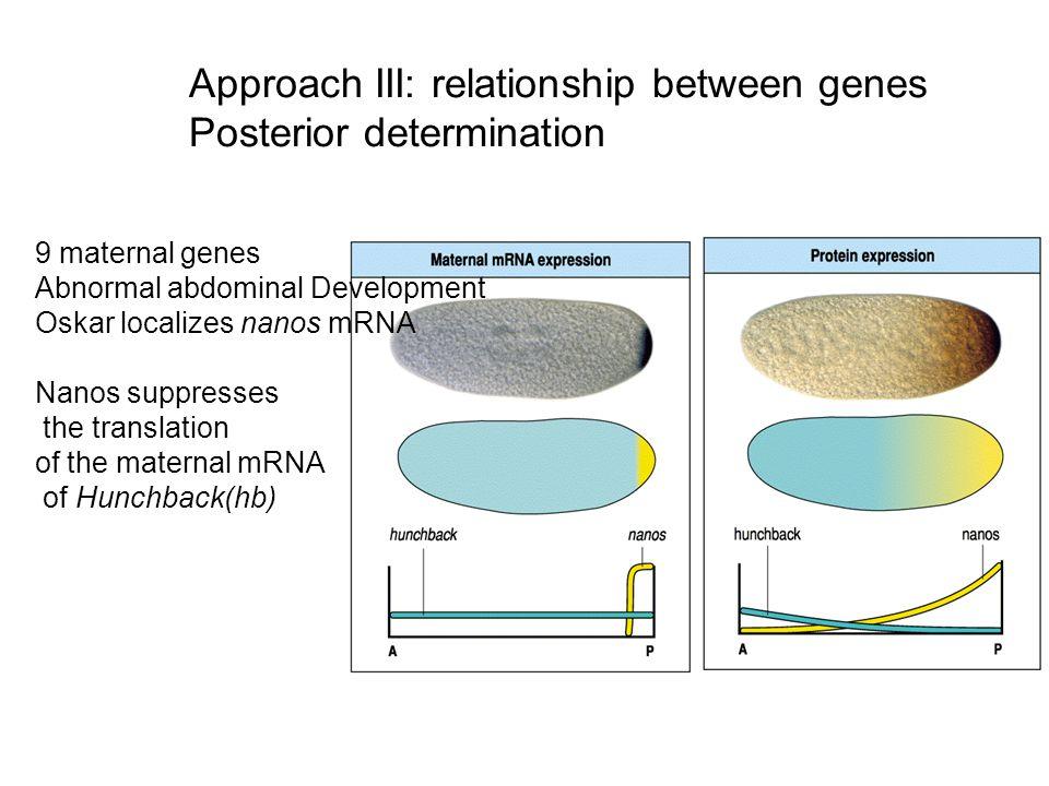 Approach III: relationship between genes Posterior determination