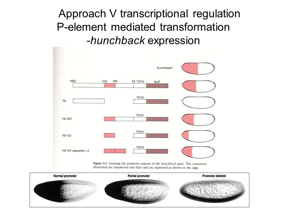 Approach V transcriptional regulation P-element mediated transformation -hunchback expression