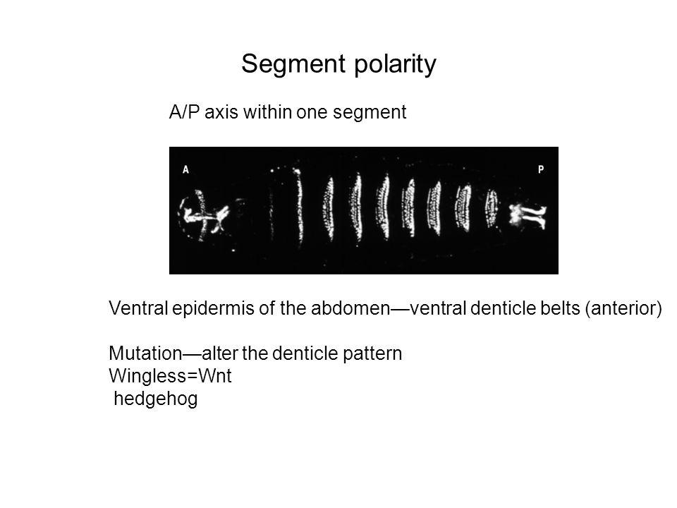 Segment polarity A/P axis within one segment