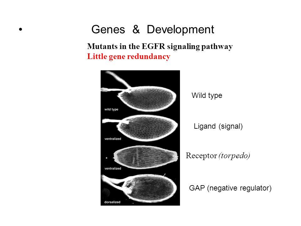 Genes & Development Mutants in the EGFR signaling pathway