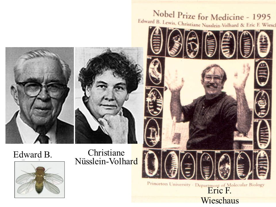 Edward B. Lewis Christiane Nüsslein-Volhard Eric F. Wieschaus