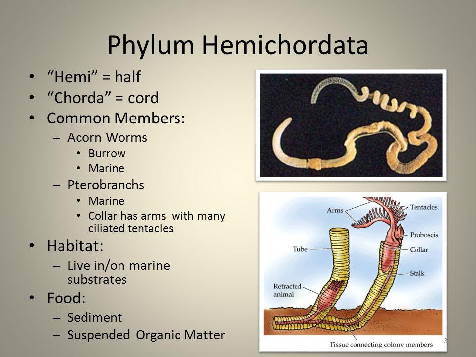 Phylum Hemichordata Hemi = half Chorda = cord Common Members: