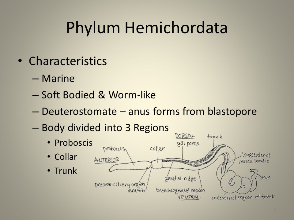Phylum Hemichordata Characteristics Marine Soft Bodied & Worm-like
