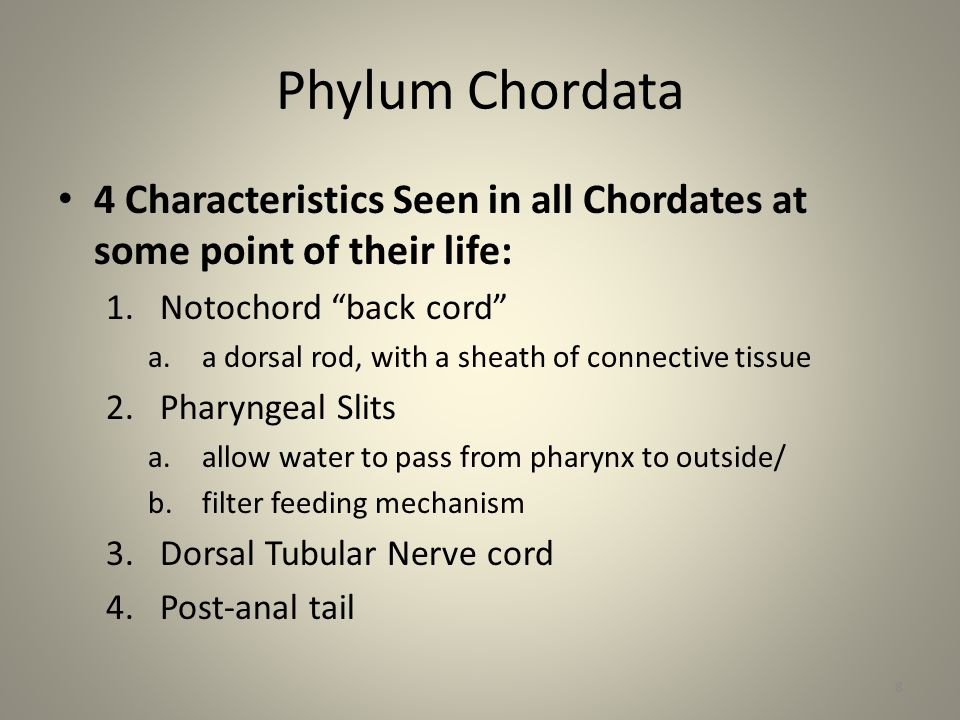 Phylum Chordata 4 Characteristics Seen in all Chordates at some point of their life: Notochord back cord