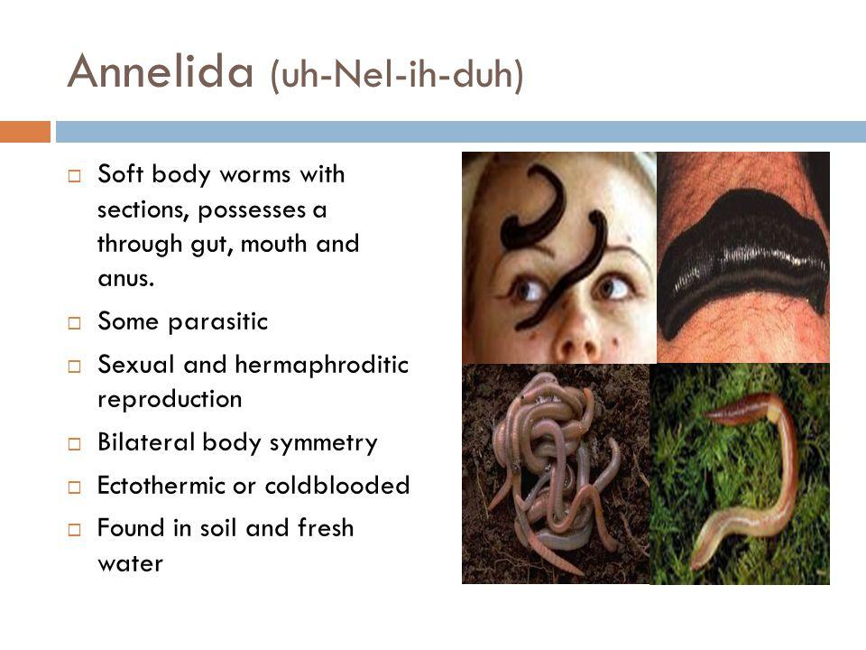 Annelida (uh-Nel-ih-duh)