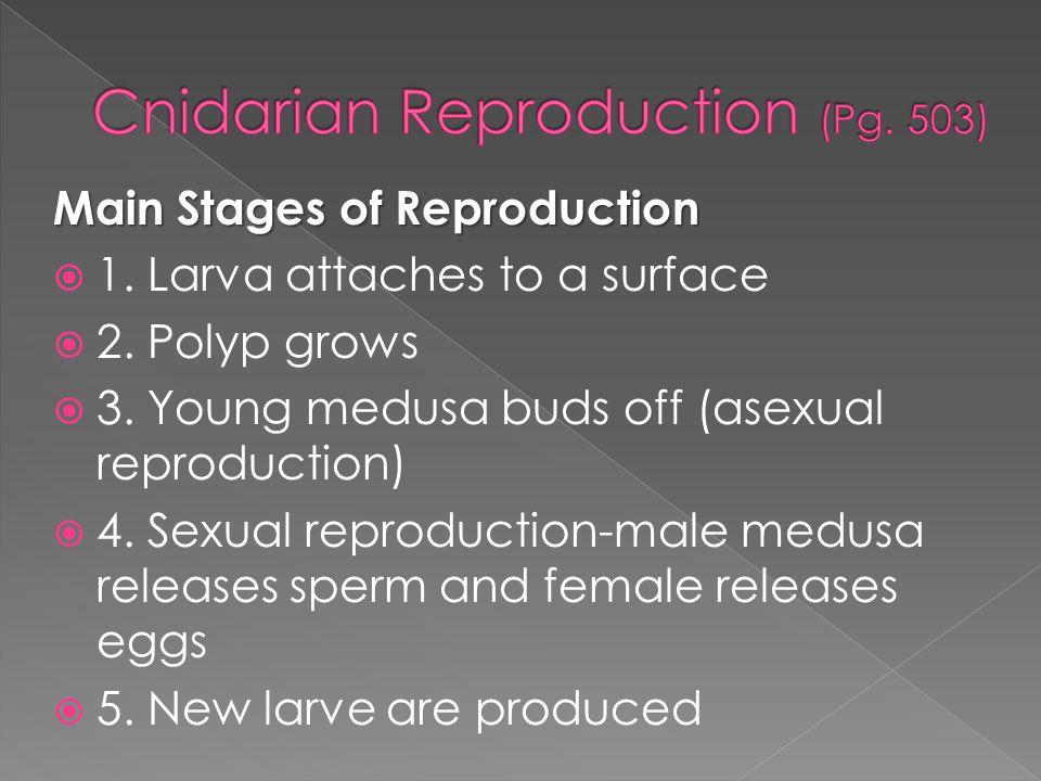 Cnidarian Reproduction (Pg. 503)