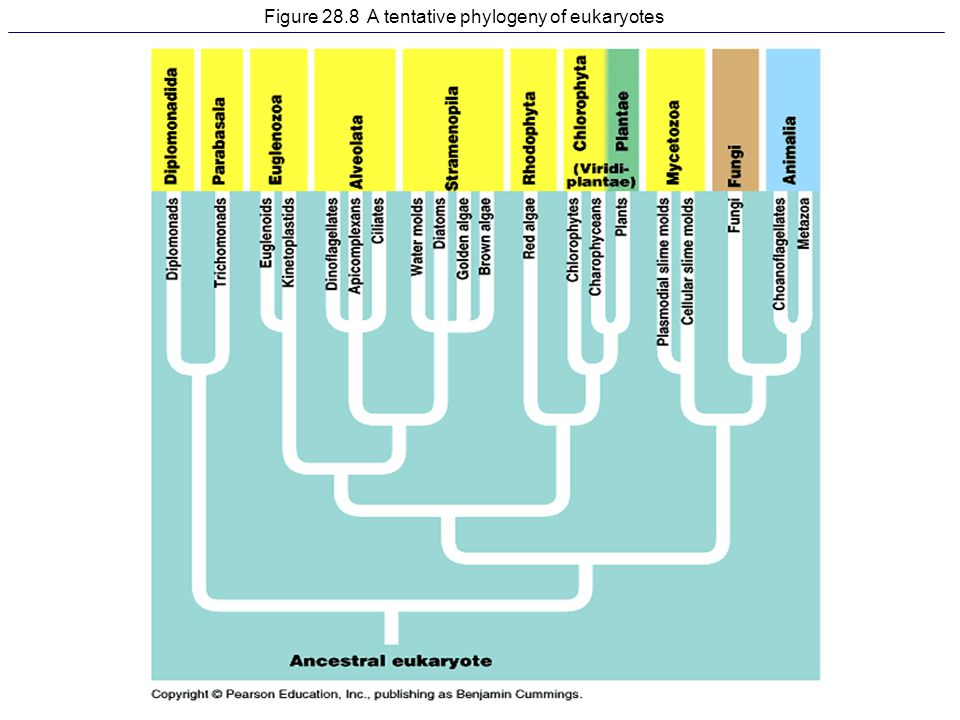Figure 28.8 A tentative phylogeny of eukaryotes