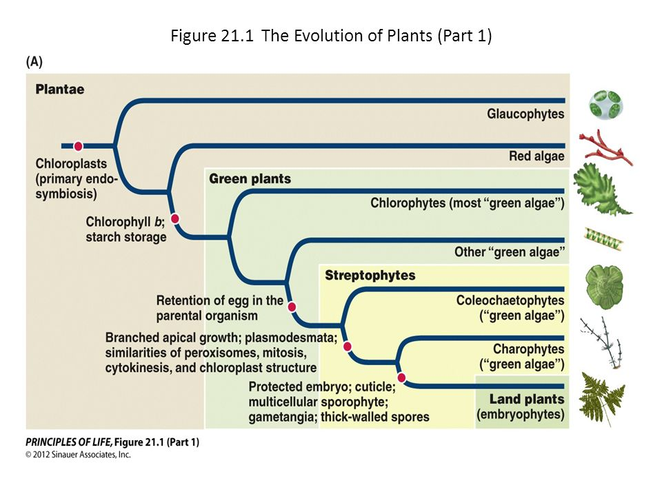 Figure 21.1 The Evolution of Plants (Part 1)