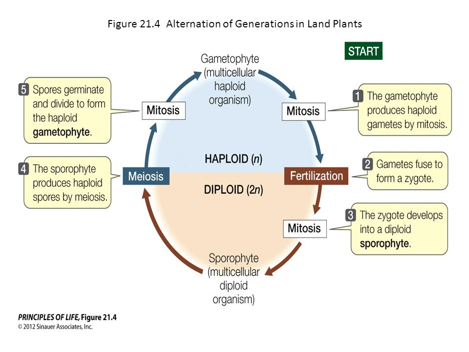 Figure 21.4 Alternation of Generations in Land Plants