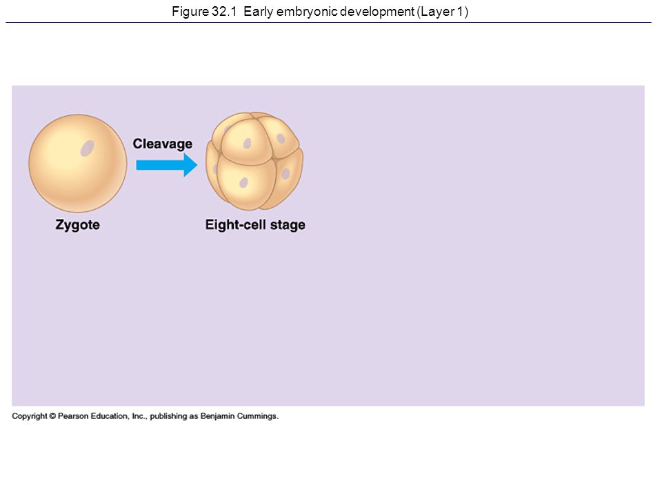 Figure 32.1 Early embryonic development (Layer 1)