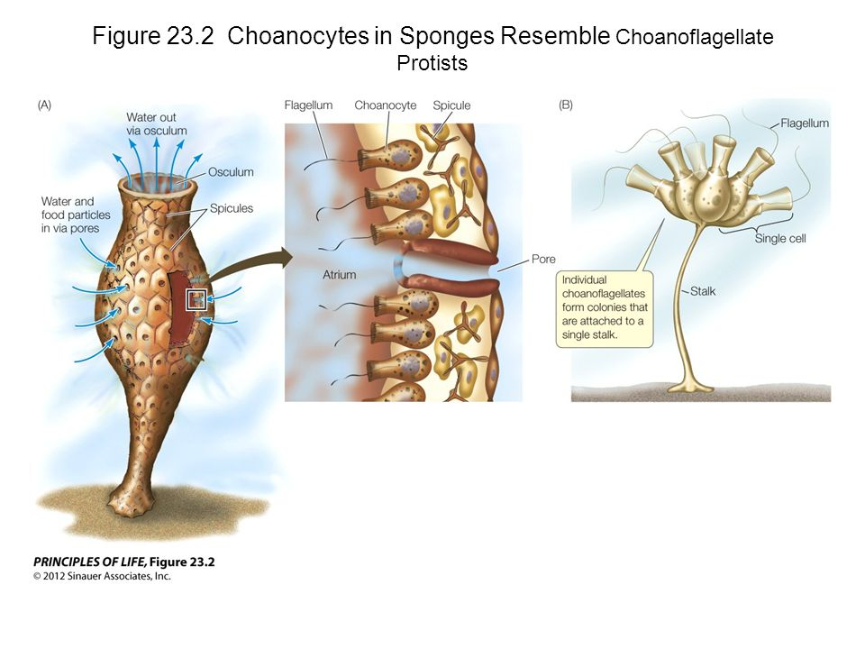 Figure 23.2 Choanocytes in Sponges Resemble Choanoflagellate Protists