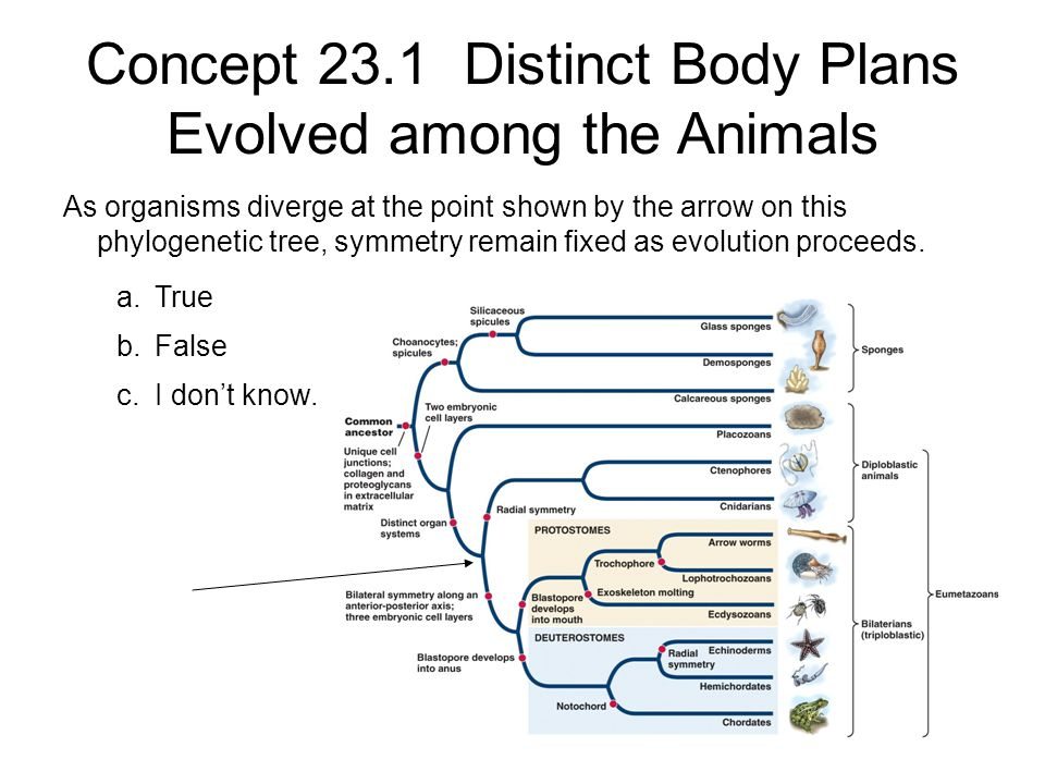 Concept 23.1 Distinct Body Plans Evolved among the Animals