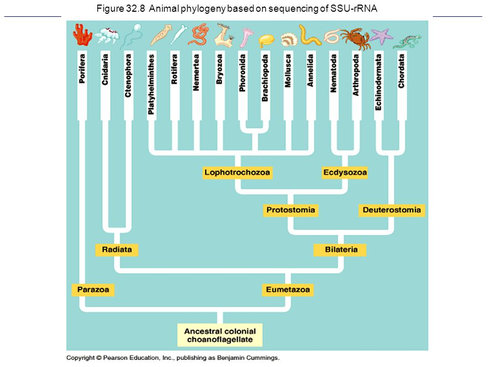 Figure 32.8 Animal phylogeny based on sequencing of SSU-rRNA