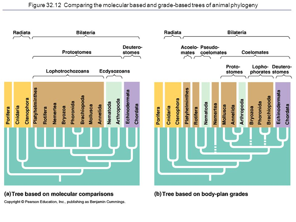 Figure 32.12 Comparing the molecular based and grade-based trees of animal phylogeny