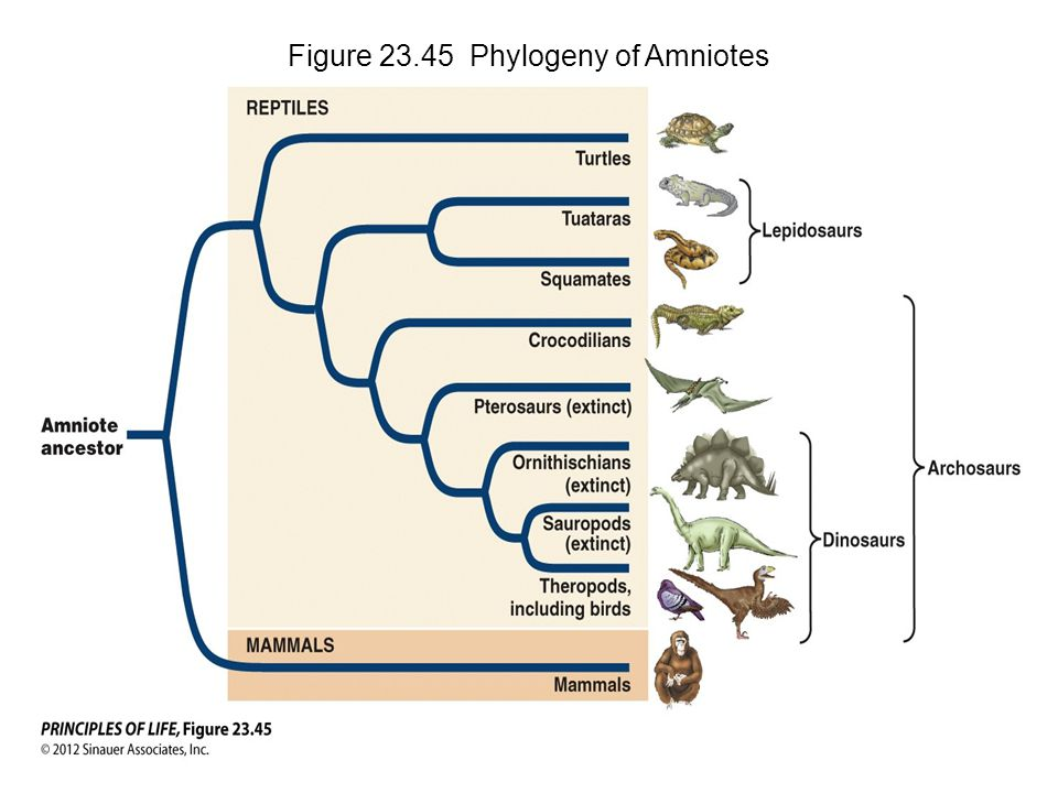 Figure 23.45 Phylogeny of Amniotes