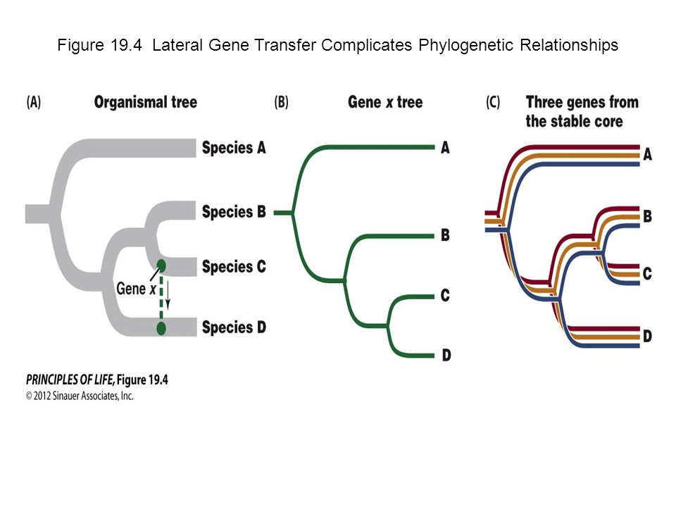 Figure 19.4 Lateral Gene Transfer Complicates Phylogenetic Relationships