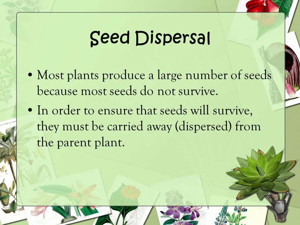Seed Dispersal Most plants produce a large number of seeds because most seeds do not survive.
