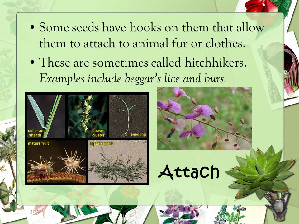 Some seeds have hooks on them that allow them to attach to animal fur or clothes.