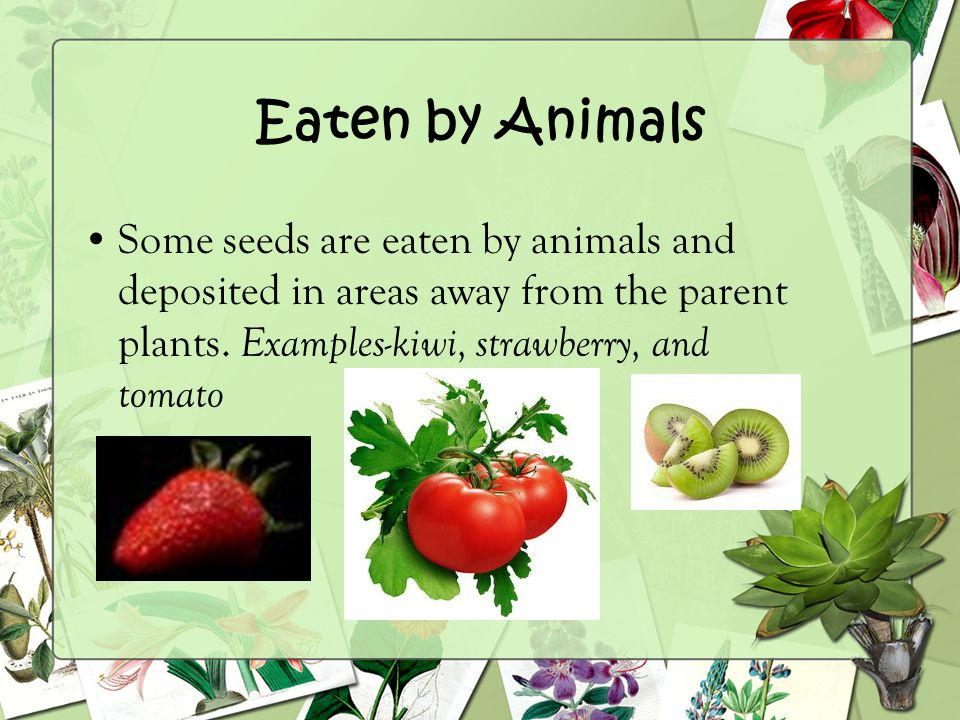 Eaten by Animals Some seeds are eaten by animals and deposited in areas away from the parent plants.