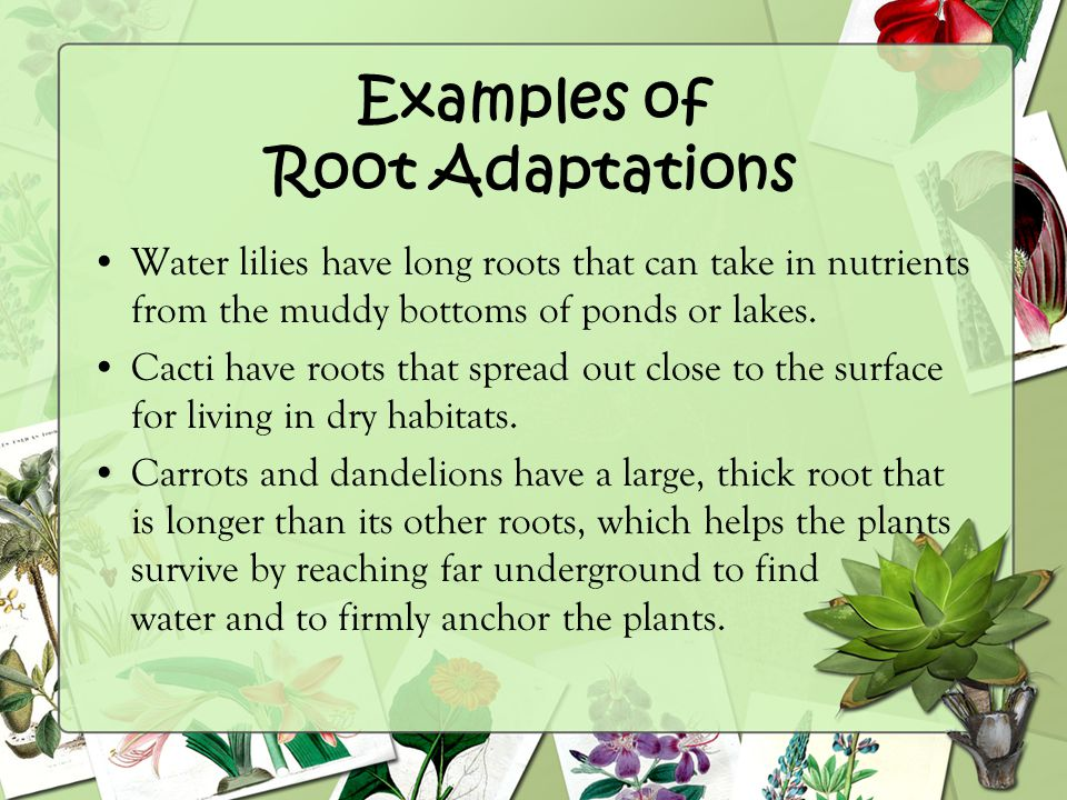 Examples of Root Adaptations