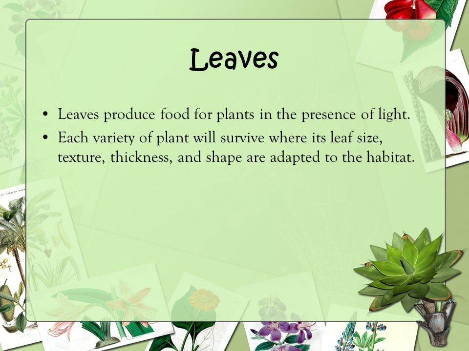 Leaves Leaves produce food for plants in the presence of light.