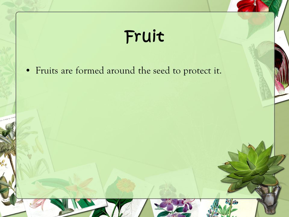 Fruit Fruits are formed around the seed to protect it.