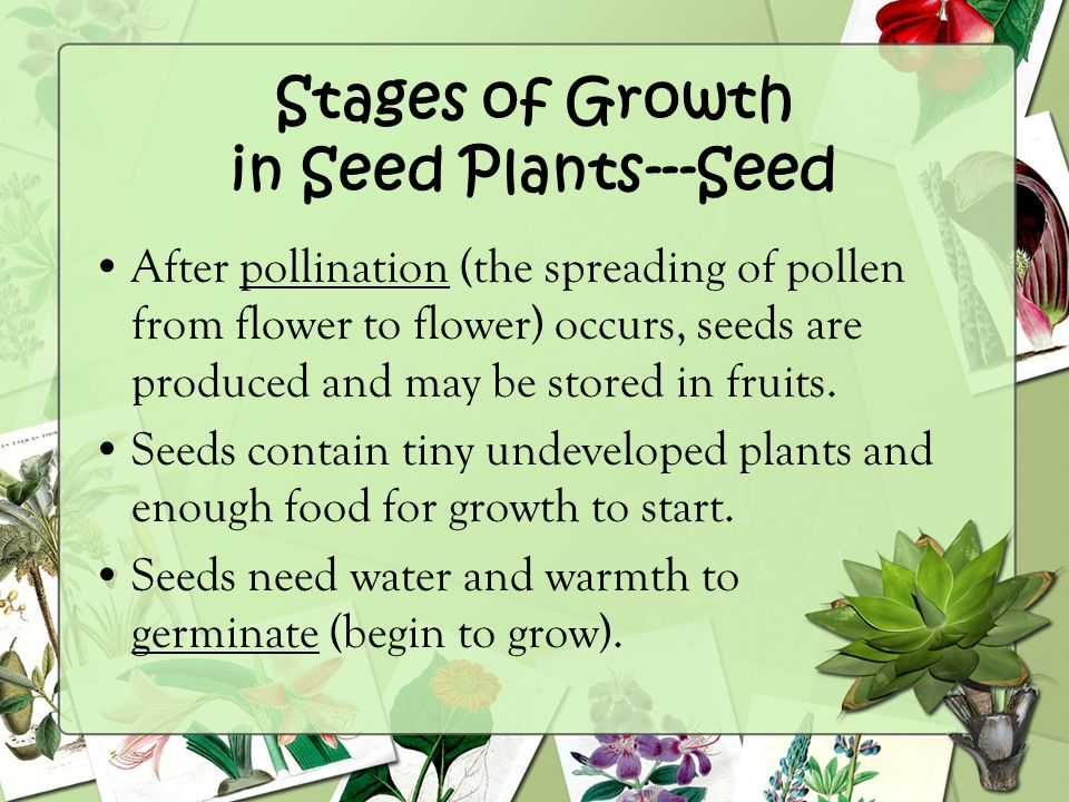 Stages of Growth in Seed Plants---Seed