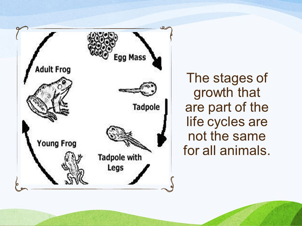 The stages of growth that are part of the life cycles are not the same for all animals.