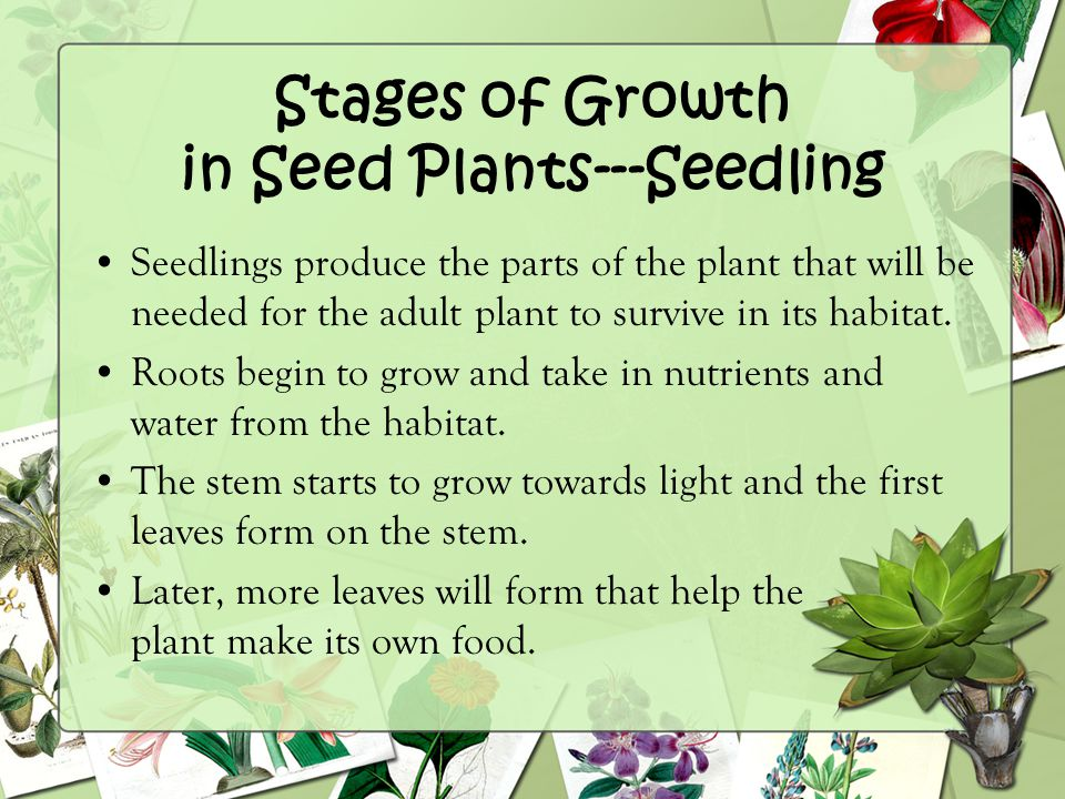 Stages of Growth in Seed Plants---Seedling