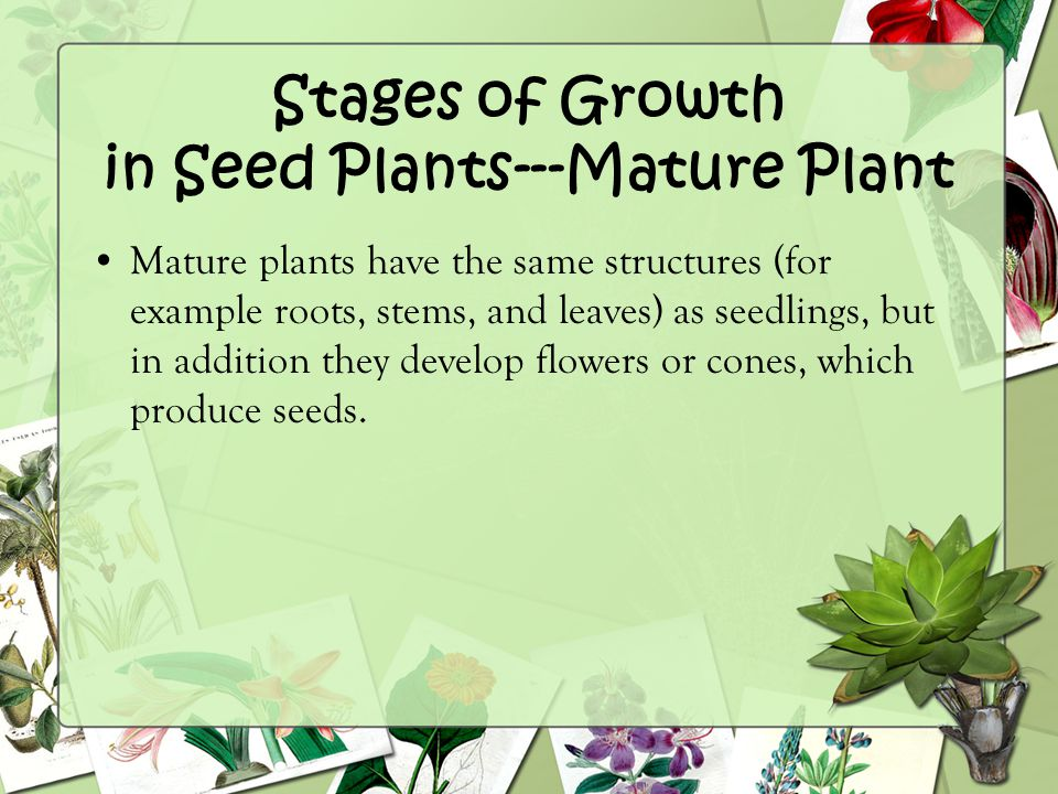 Stages of Growth in Seed Plants---Mature Plant