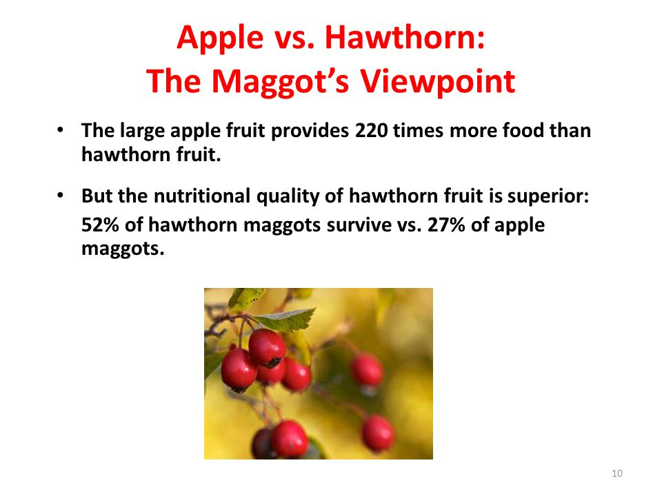 Apple vs. Hawthorn: The Maggot's Viewpoint