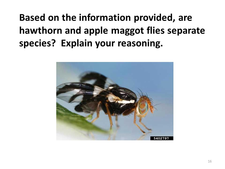 Based on the information provided, are hawthorn and apple maggot flies separate species Explain your reasoning.