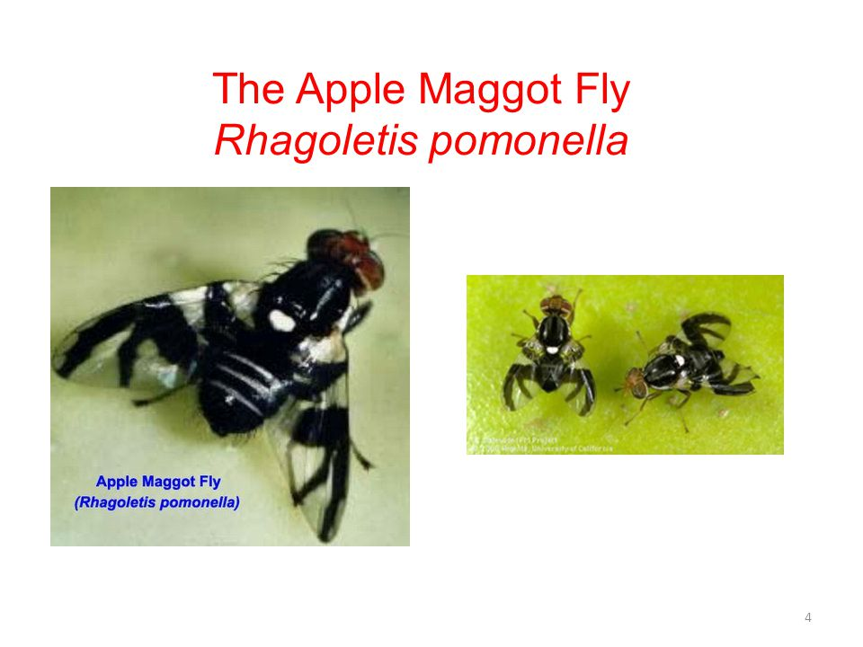 The Apple Maggot Fly Rhagoletis pomonella Image Credit