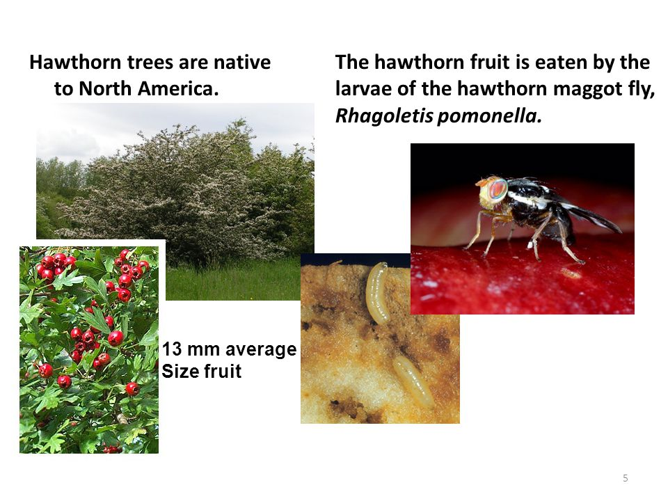 Hawthorn trees are native to North America.