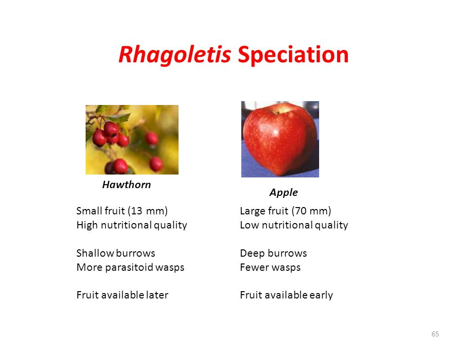 Rhagoletis Speciation
