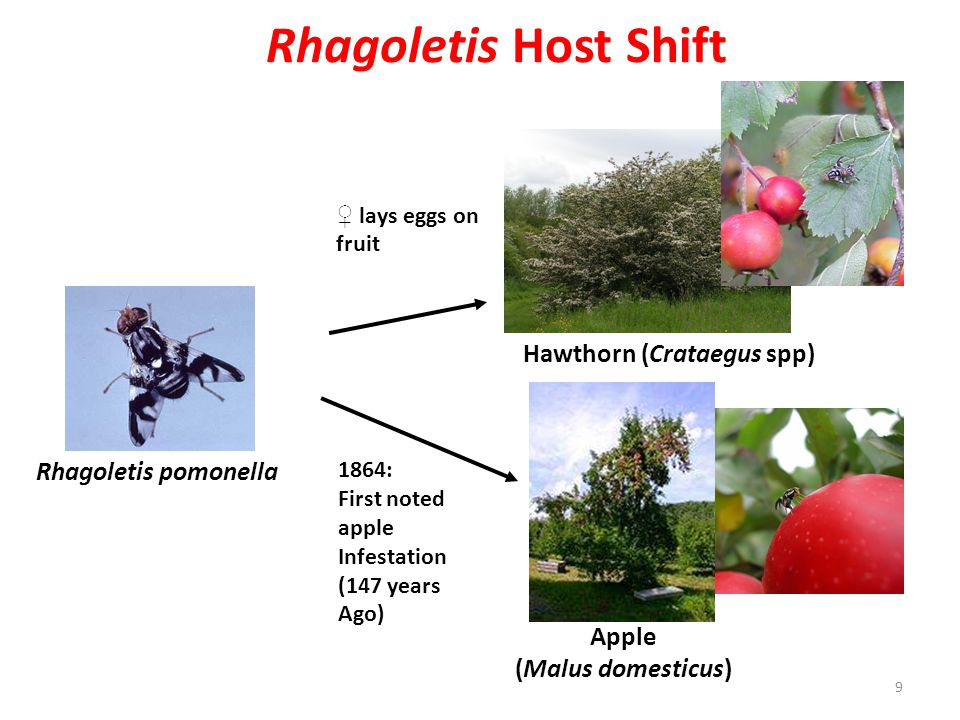 Rhagoletis Host Shift Hawthorn (Crataegus spp) Rhagoletis pomonella