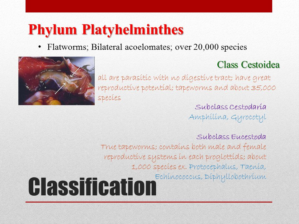Classification Phylum Platyhelminthes Class Cestoidea