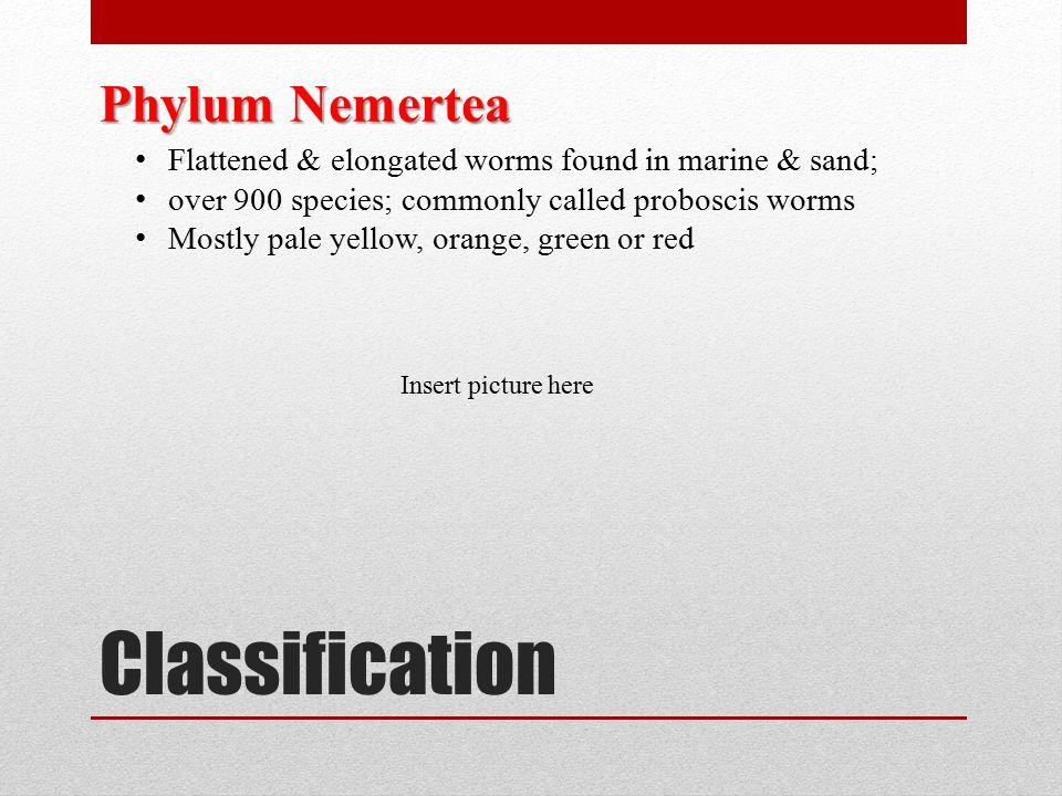 Classification Phylum Nemertea