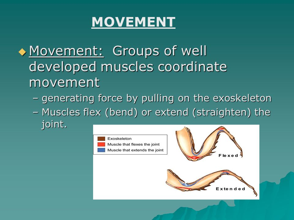 Movement: Groups of well developed muscles coordinate movement