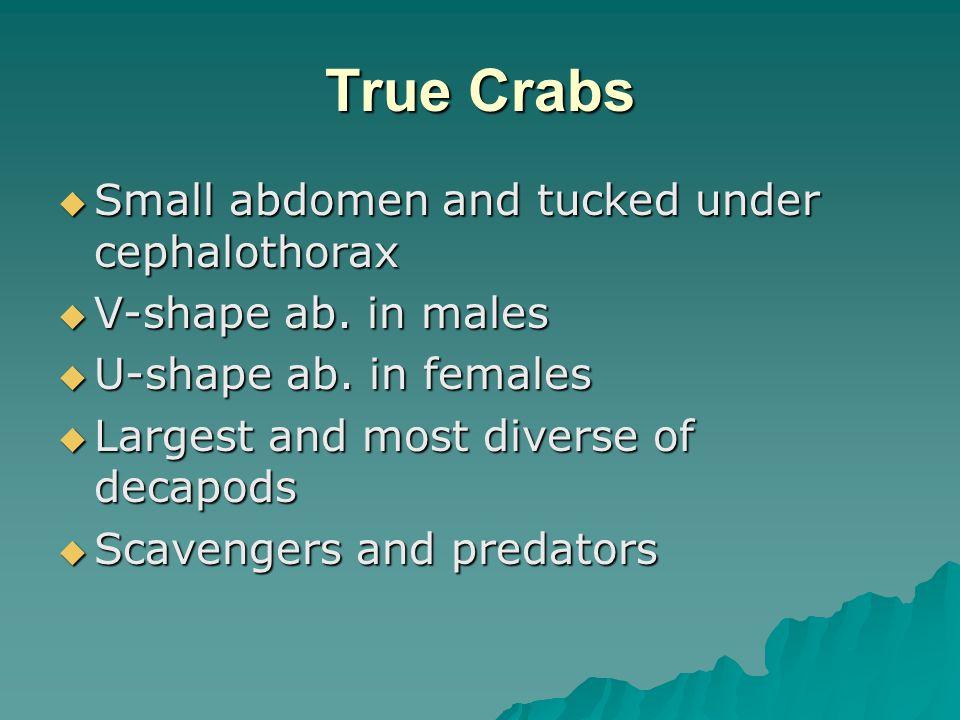 True Crabs Small abdomen and tucked under cephalothorax