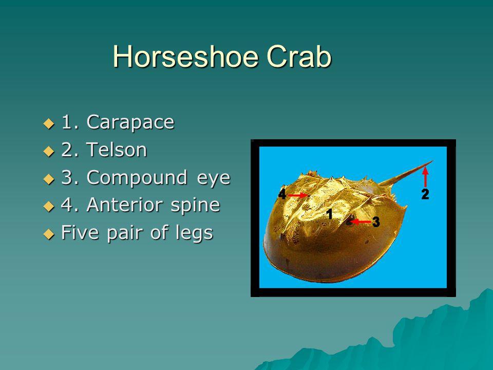 Horseshoe Crab 1. Carapace 2. Telson 3. Compound eye 4. Anterior spine