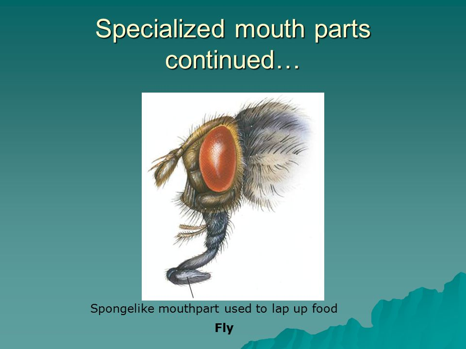 Specialized mouth parts continued…