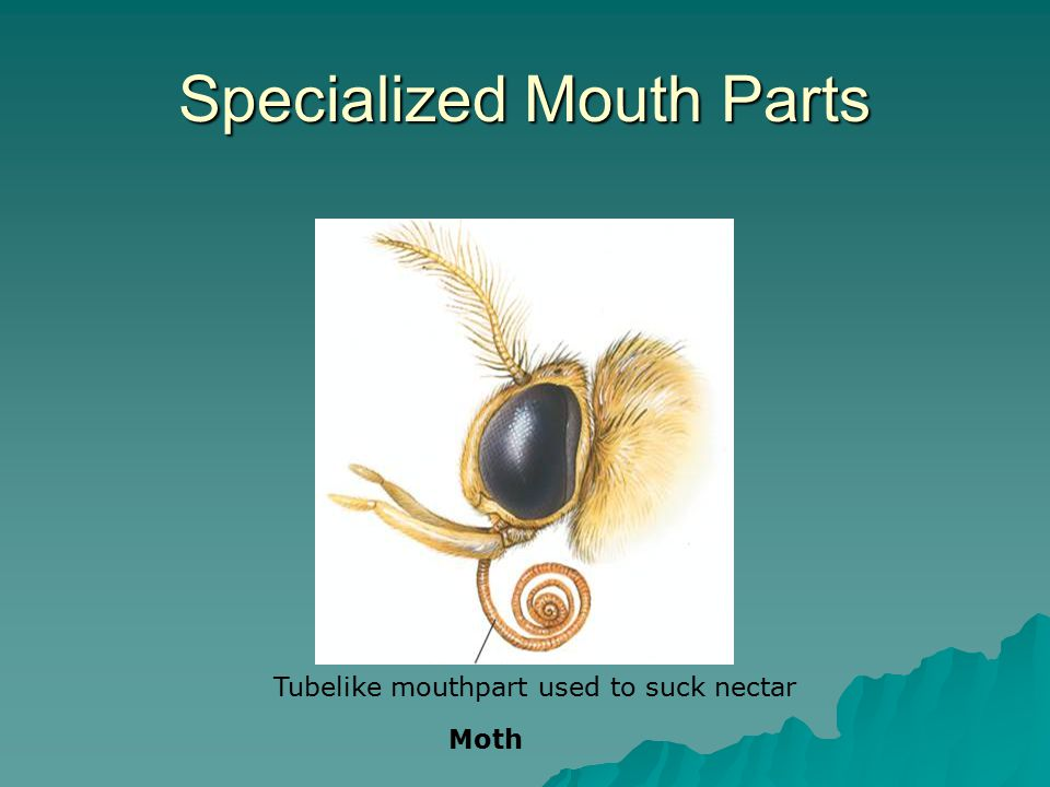 Specialized Mouth Parts
