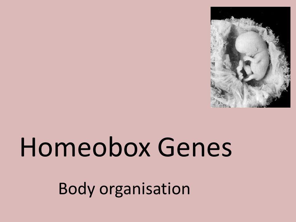 Homeobox Genes Body organisation