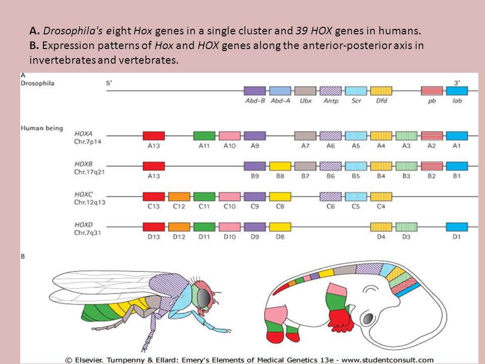 A. Drosophila s eight Hox genes in a single cluster and 39 HOX genes in humans.