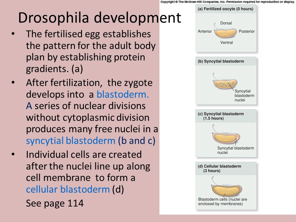 Drosophila development