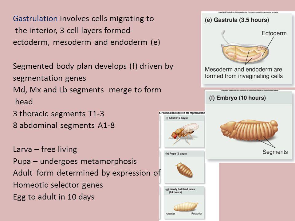 Gastrulation involves cells migrating to