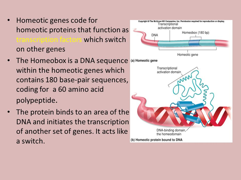 Homeotic genes code for homeotic proteins that function as transcription factors which switch on other genes