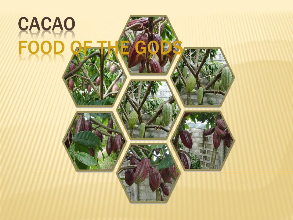 CACAO FOOD OF THE GODS